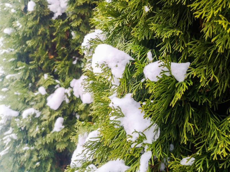 Tui dans la neige hiver, buissons verts de thuja couverts de neige blanche photo libre de droits