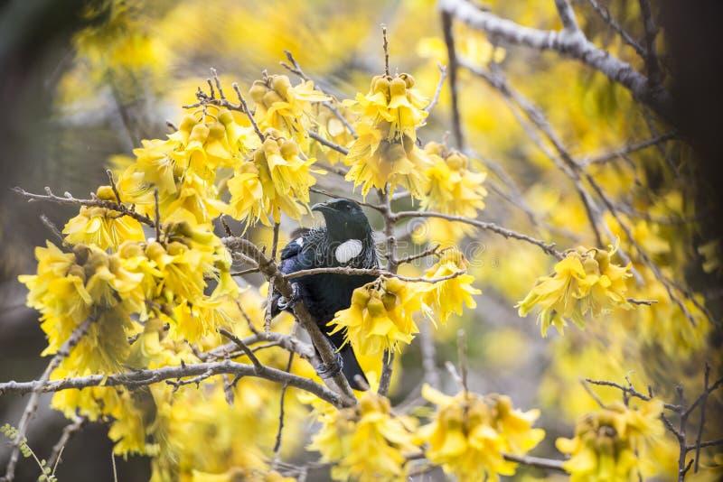 Download Tui Feeding stock photo. Image of bird, perch, eater - 33828116
