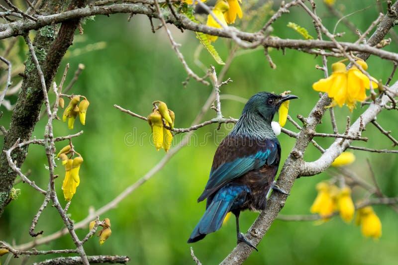 Tui i ett Kowhai träd royaltyfria foton