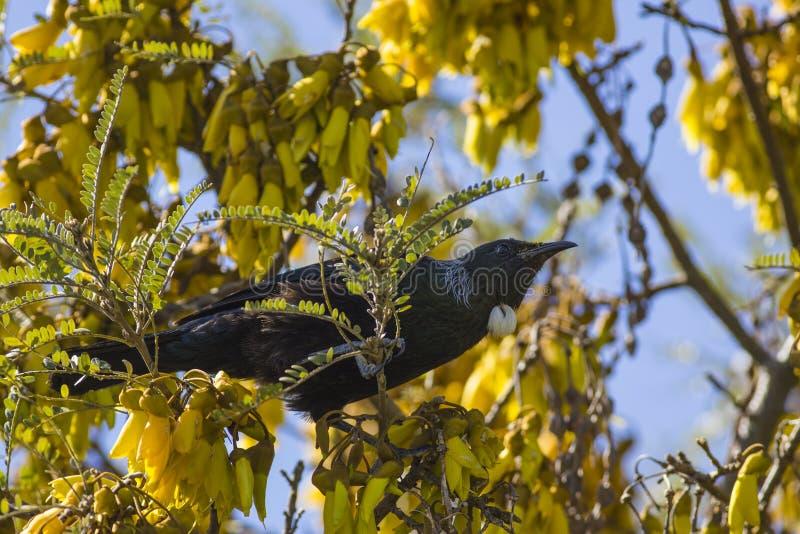 Tui nell'albero di Kowhai fotografia stock libera da diritti