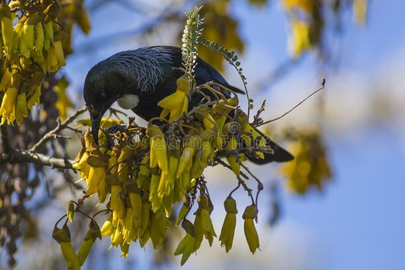 Tui nell'albero di Kowhai immagine stock libera da diritti