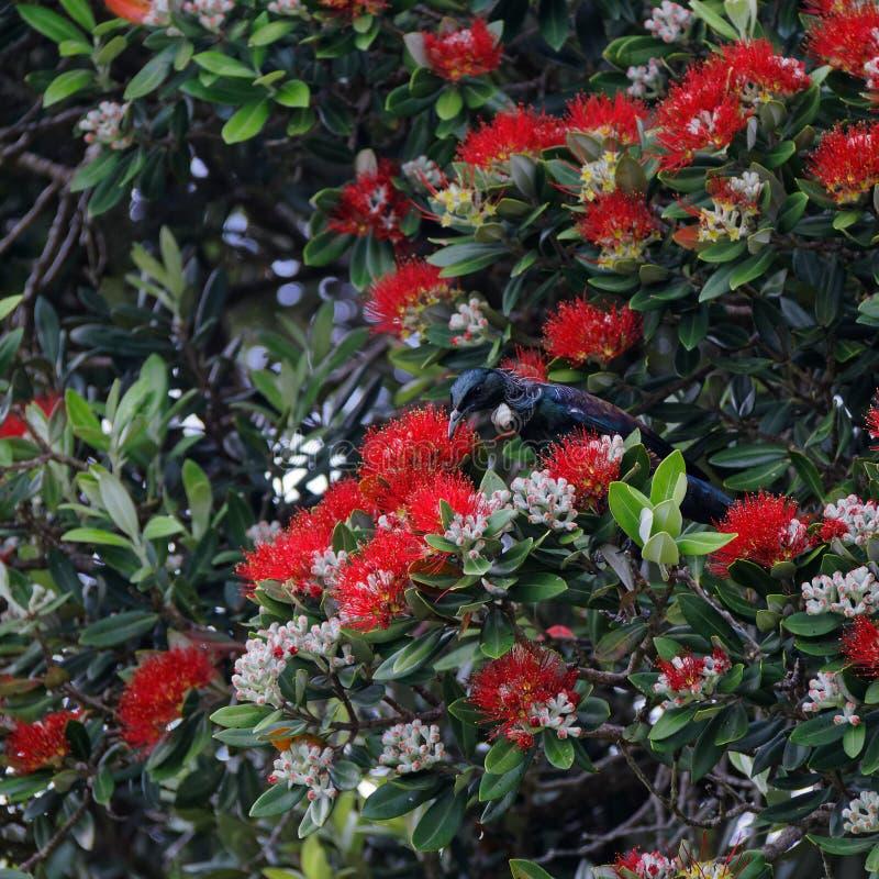 Tui nyazeeländsk infödd fågel arkivfoton
