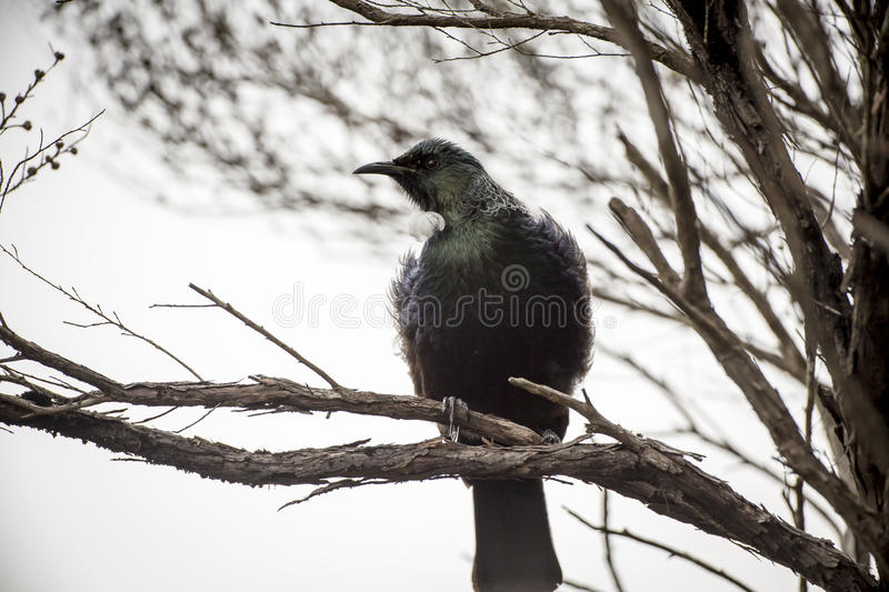 Download Tui Perched stock photo. Image of song, bird, feathers - 33827688