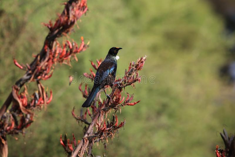 The tui (Prosthemadera novaeseelandiae) är en endemisk passerinfågel från Nya Zeeland arkivbilder