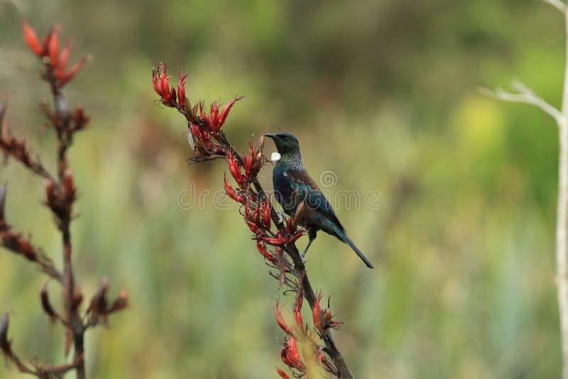The tui (Prosthemadera novaeseelandiae) är en endemisk passerinfågel från Nya Zeeland royaltyfri fotografi