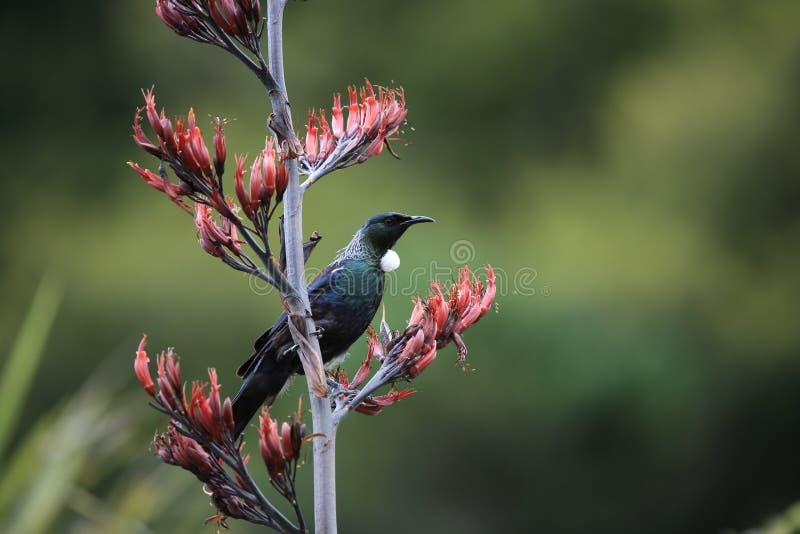 tui (Prosthemadera novaeseelandiae) является эндемической прохожей Новой Зеландии стоковые фотографии rf