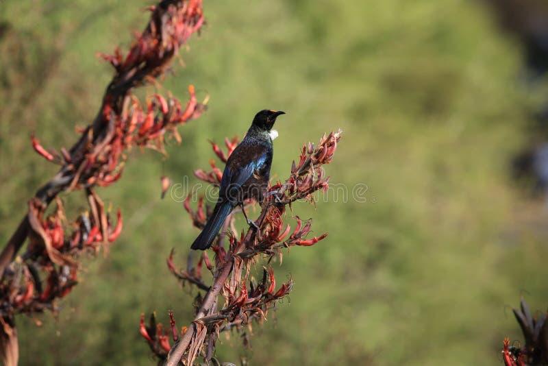 tui (Prosthemadera novaeseelandiae) is een endemische passerine vogel uit Nieuw-Zeeland stock afbeeldingen