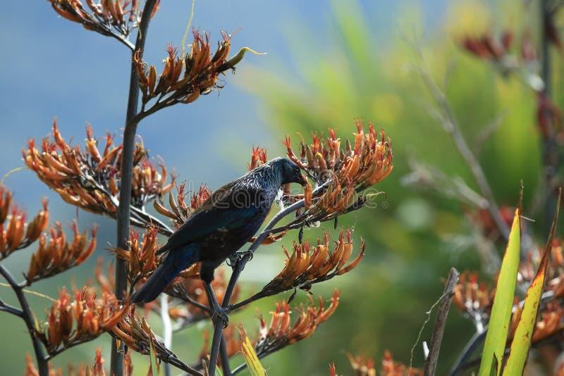 The tui (Prosthemadera novaeseelandiae) is an endemic passerine bird of New Zealand. The tui (Prosthemadera novaeseelandiae) in the natural stock photo
