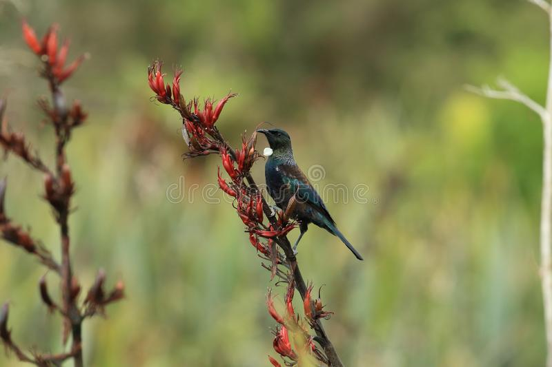 The tui (Prosthemadera novaeseelandiae) is an endemic passerine bird of New Zealand. The tui (Prosthemadera novaeseelandiae) in the natural royalty free stock photography