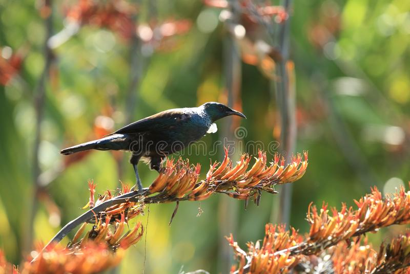 The tui (Prosthemadera novaeseelandiae) is an endemic passerine bird of New Zealand. The tui (Prosthemadera novaeseelandiae) in the natural royalty free stock images