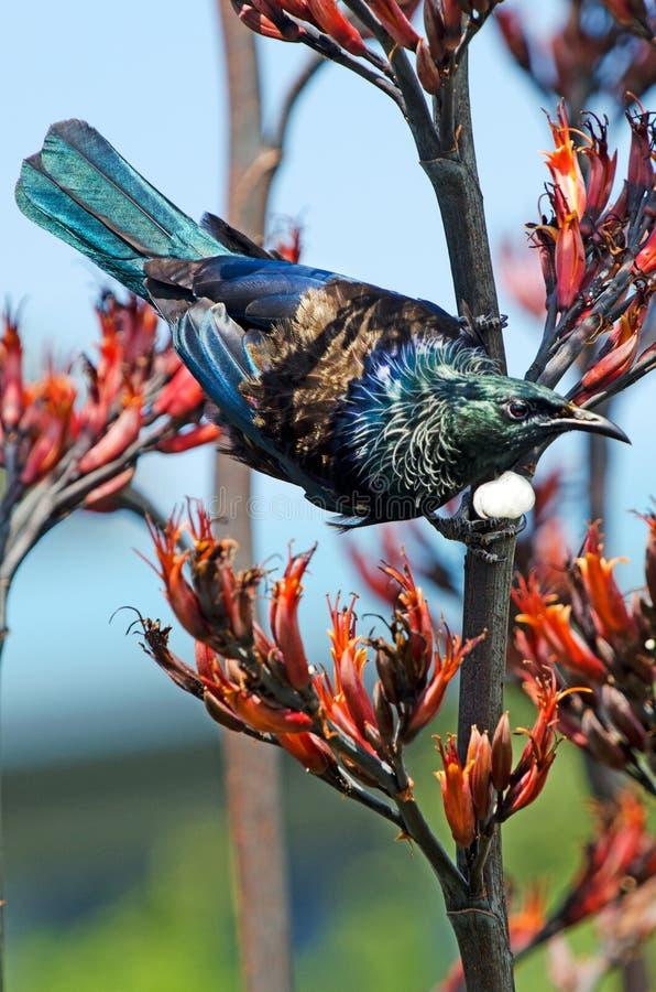 Tui - Vogel von Neuseeland lizenzfreie stockfotografie