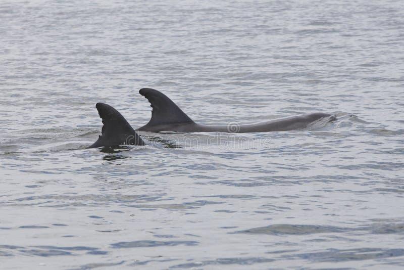 Tuimelaar,共同的宽吻海豚, Tursiops truncatus 库存照片
