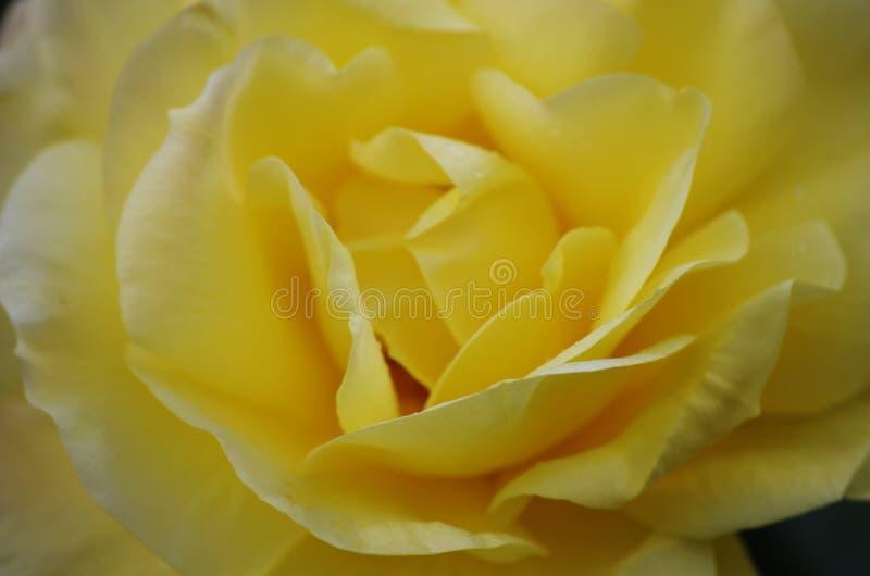 Tuin gele rozen stock afbeeldingen