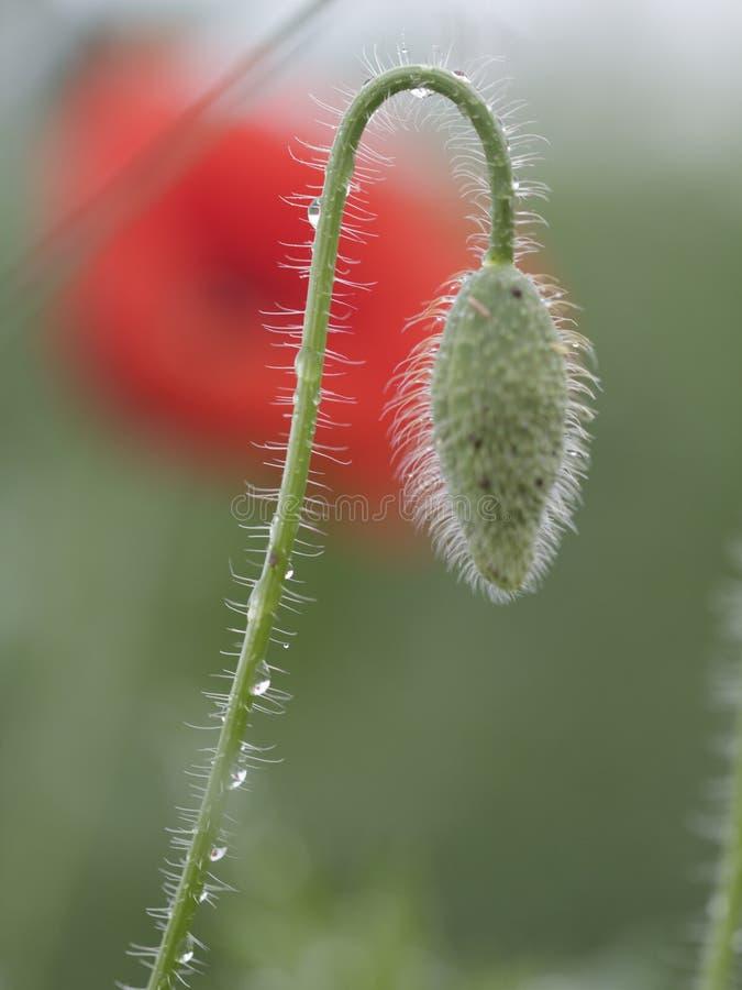 Tuin, groene papaver, achtergrond, aard, de lente, verse installatie, natuurlijke close-up, seizoen, knop, bloemen, dauw, flora,  royalty-vrije stock fotografie