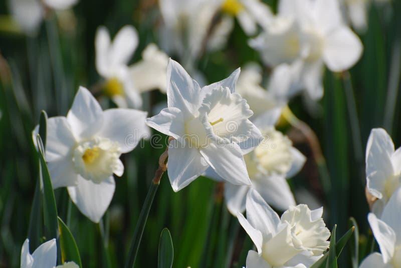 Tuin met Bloeiende Document Witte Narcissen stock afbeeldingen