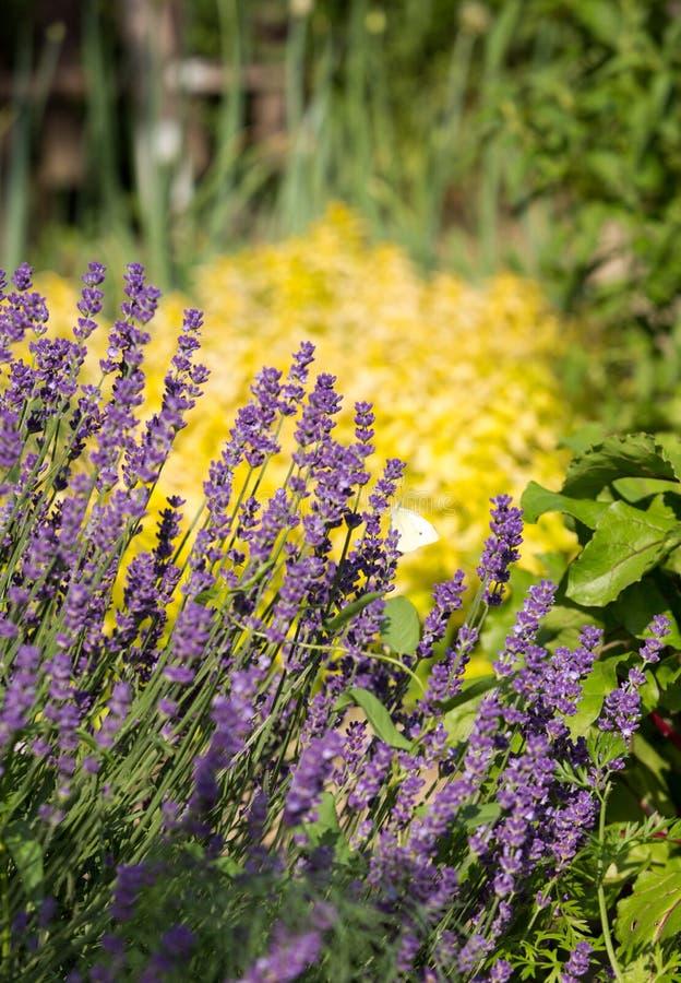 Tuin met de de het bloeien Lavendel en Orego royalty-vrije stock foto's