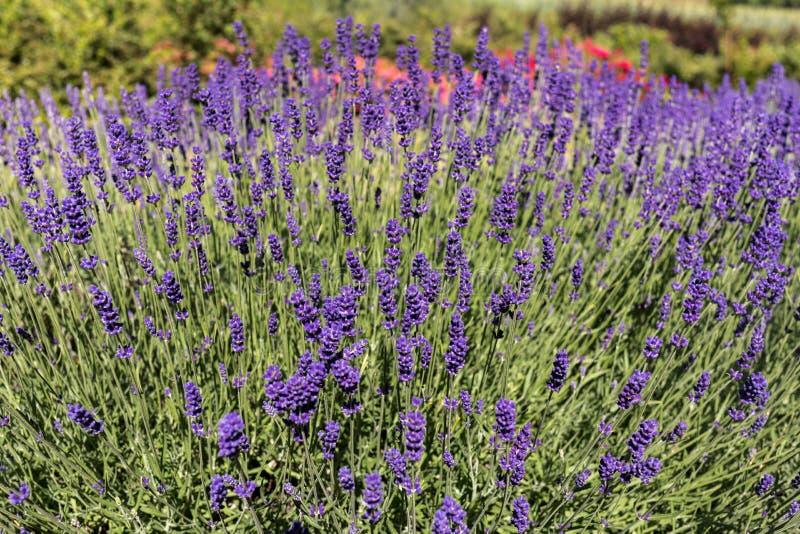 Tuin met de het bloeien lavendel royalty-vrije stock fotografie