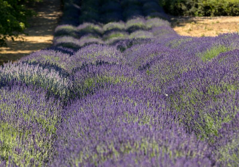 Tuin met de het bloeien lavendel stock foto's