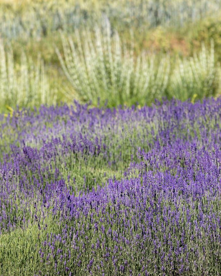 Tuin met de het bloeien lavendel stock afbeeldingen