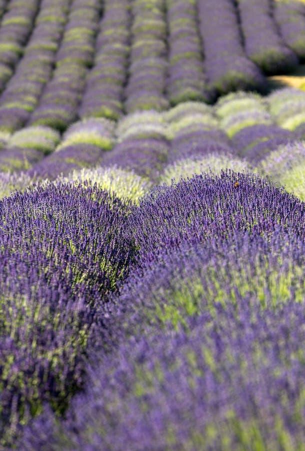 Tuin met de het bloeien lavendel royalty-vrije stock foto