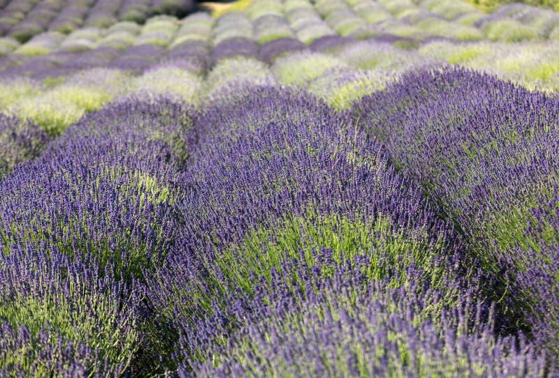 Tuin met de het bloeien lavendel stock afbeelding