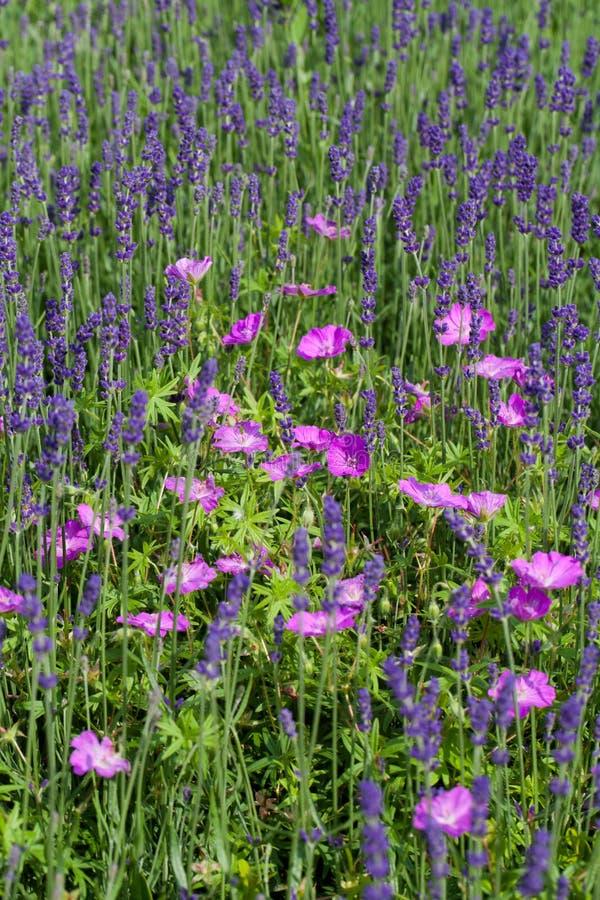Tuin met de het bloeien lavendel royalty-vrije stock foto's