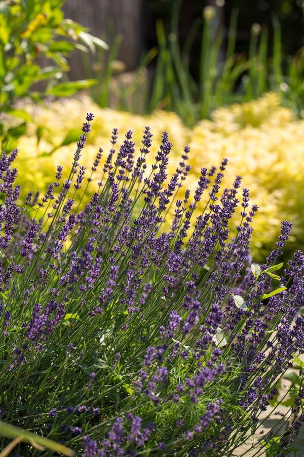 Tuin met de de het bloeien Lavendel en Orego stock afbeeldingen