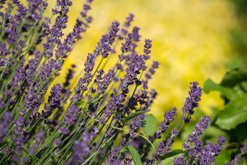 Tuin met de de het bloeien Lavendel en Orego royalty-vrije stock foto