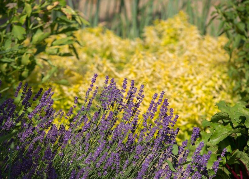 Tuin met de de het bloeien Lavendel en Orego stock afbeelding