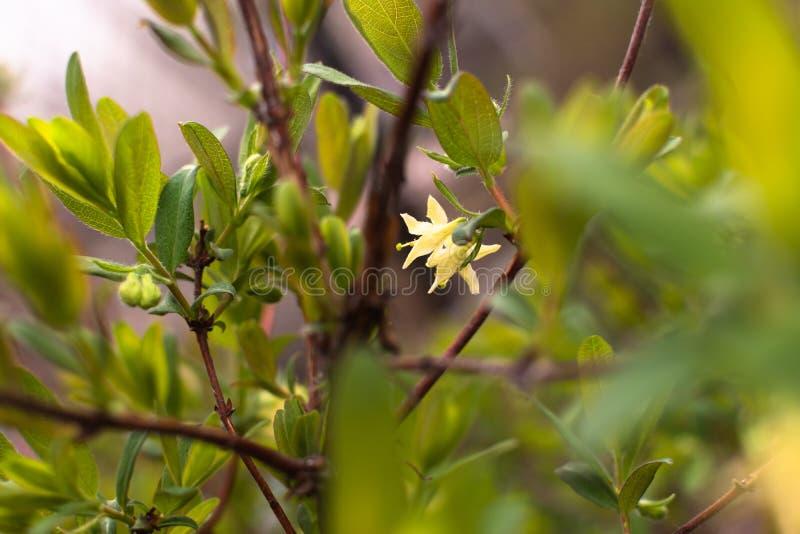 Tuin mooie kleine bloeiende zwarte bes Bush stock afbeeldingen