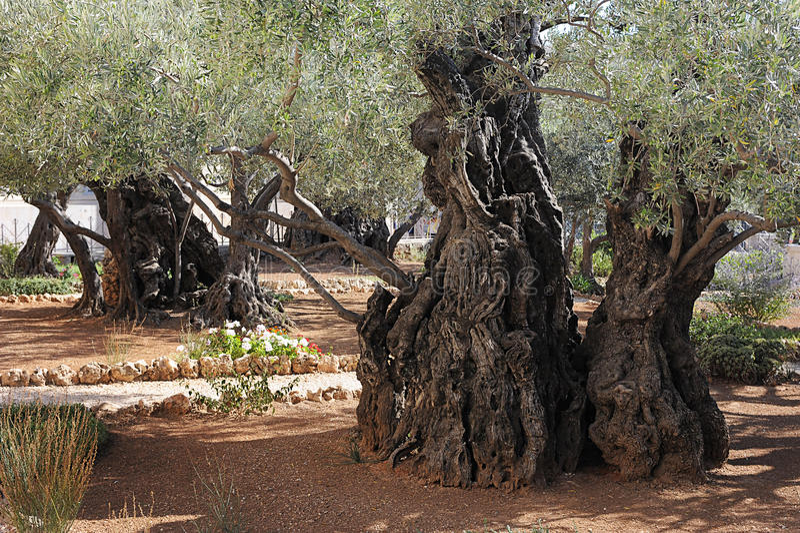 Tuin van Gethsemane stock foto