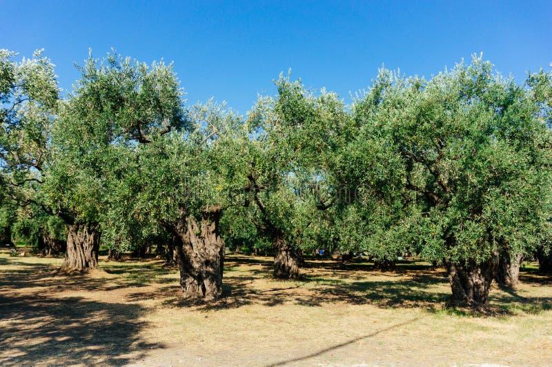 Tuin van olijfbomen stock afbeelding