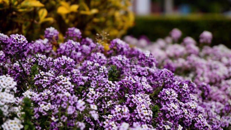 Tuin van Purper en witte bloemen royalty-vrije stock foto's
