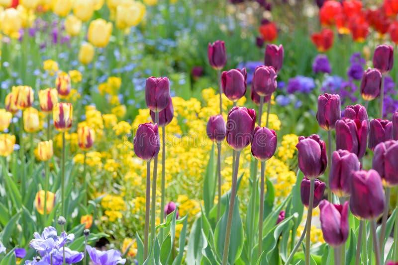 Tuin van tulpen in de lente stock foto