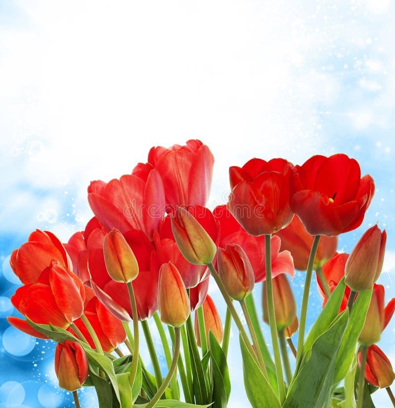Tuin verse rode tulpen op abstracte achtergrond stock afbeeldingen