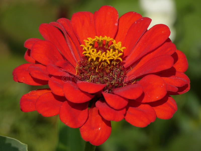 Tuin Zinnia Red royalty-vrije stock foto
