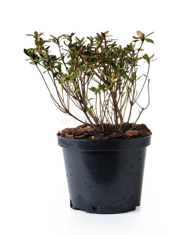 Tuinazalea in een pot royalty-vrije stock foto