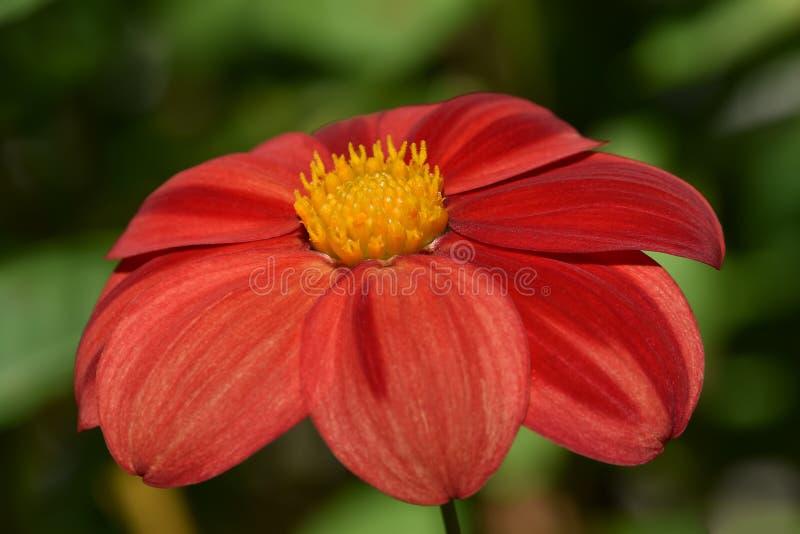 Tuinbloem van Echinacea geneeskrachtig met rode bloemblaadjes en geel centrum royalty-vrije stock foto's