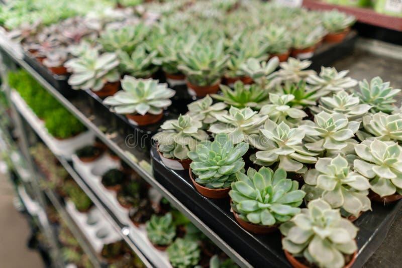 Tuincentrum en in het groot leveranciersconcept Vele verschillende cactussen in bloempotten in bloemen slaan op de planken op van royalty-vrije stock foto's