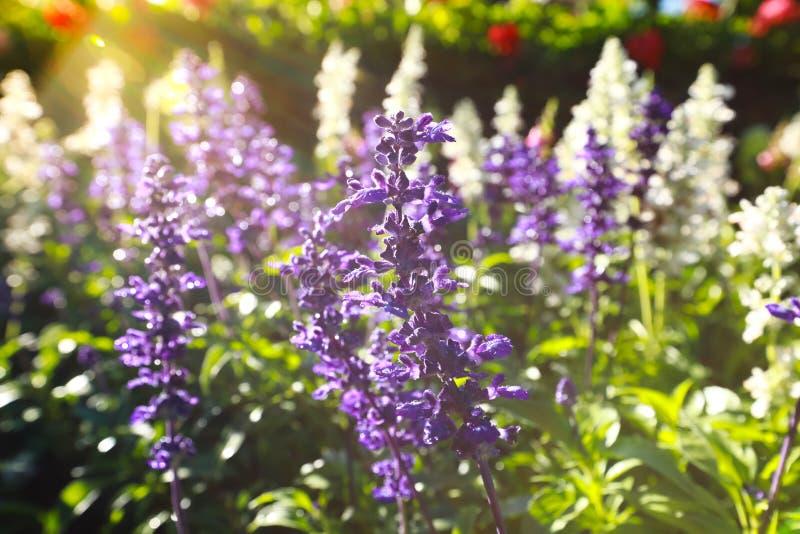 Tuinen met de het bloeien violette lavendel stock afbeelding