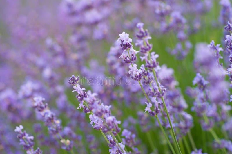 Tuinen met de het bloeien violette lavendelbloemen royalty-vrije stock afbeelding