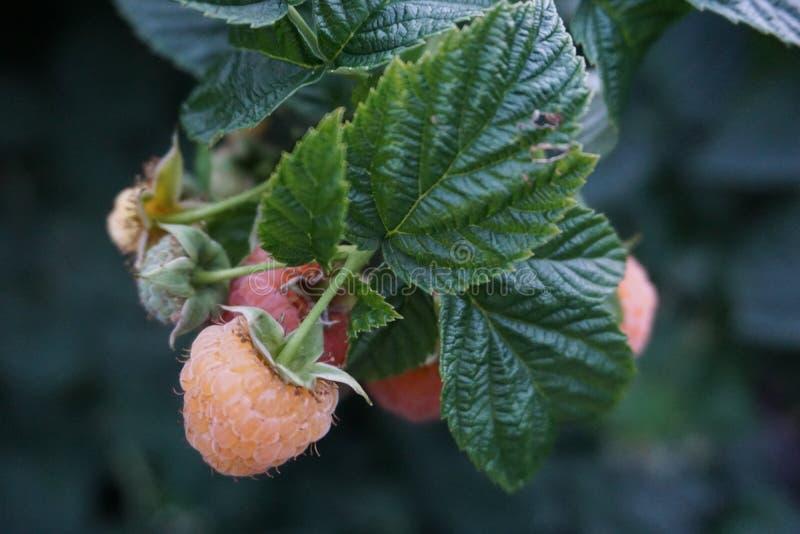Tuinframbozen in de groei royalty-vrije stock foto