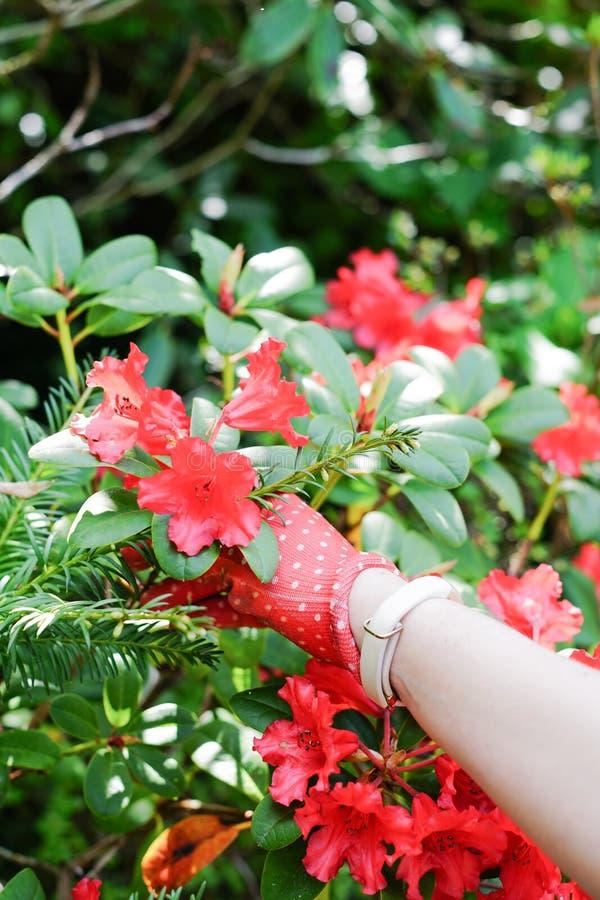Tuinhandschoenen die voor bloei bereiken royalty-vrije stock foto