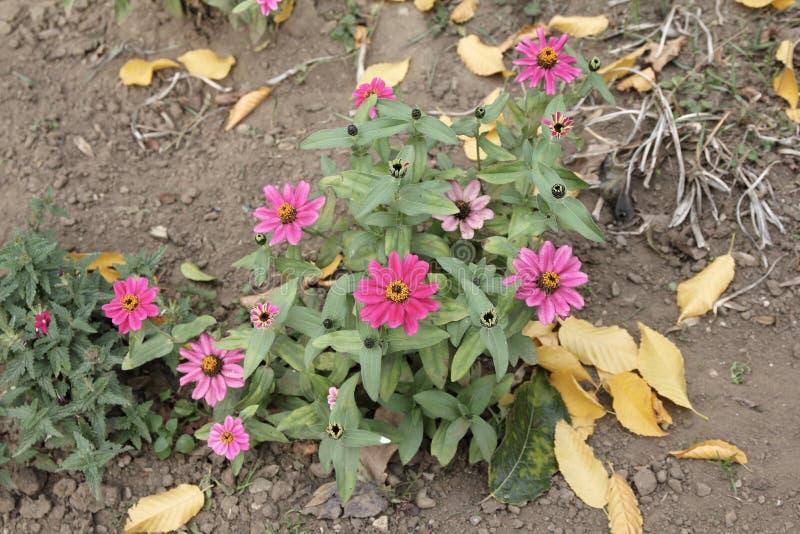 Tuinijzerkruid - hybrida van Glandularia Ã-, vroeger Ijzerkruidhybrida royalty-vrije stock foto's