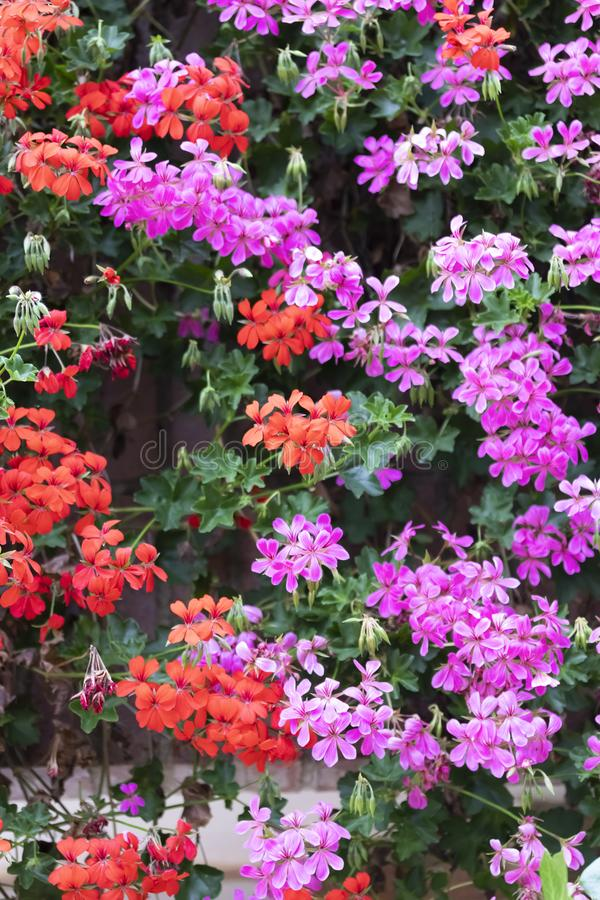 Tuininstallatie met multicolored rode en lilac bloemen op een zonnige de lentedag royalty-vrije stock afbeelding