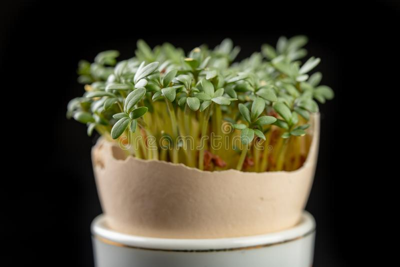 Tuinkers in shell van een ei Verse spruiten voor een feestelijke Pasen-lijst royalty-vrije stock afbeelding