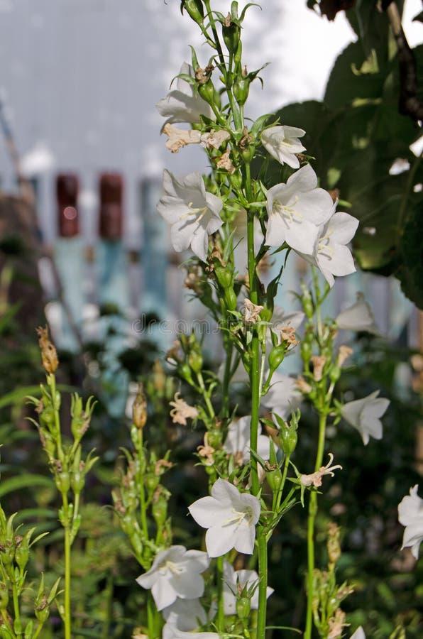 Tuinklokken Mooie bloemen in de tuin royalty-vrije stock afbeelding