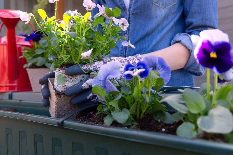 Tuinliedenhanden het planten bloeit in pot met vuil of grond in container op de tuin van het terrasbalkon Het tuinieren concept royalty-vrije stock fotografie