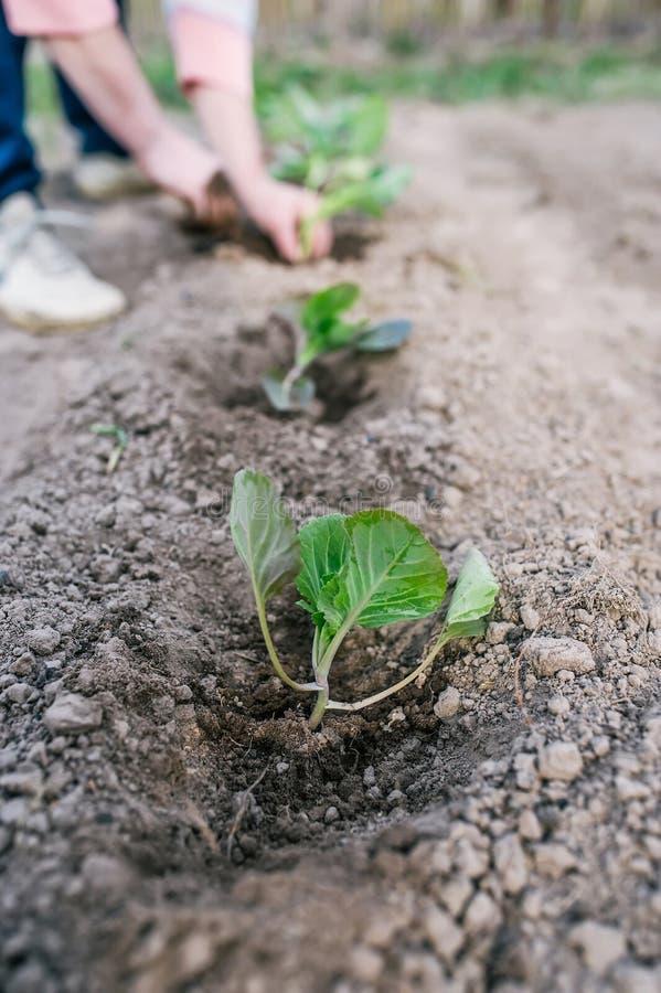 Tuinman die een koolzaailing in de moestuin planten royalty-vrije stock afbeeldingen