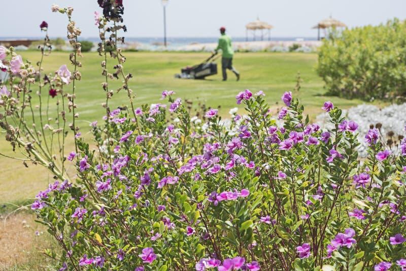 Tuinman die het gras van een gazon met primorosestruik snijden royalty-vrije stock afbeeldingen